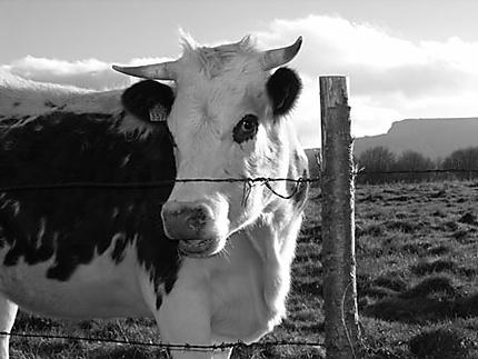 Une belle vache numérotée