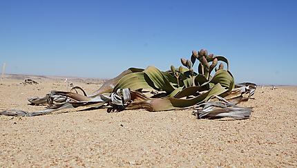 Welwitschia mirabilis plante du désert