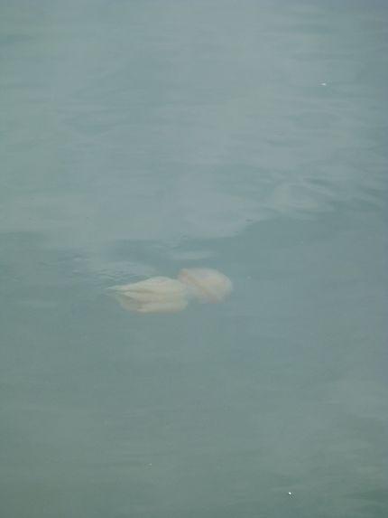 Méduse à Belém