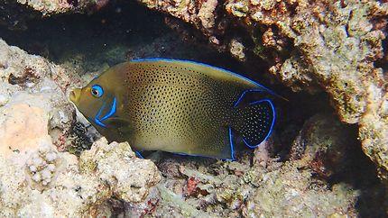 Poisson Ange Maldives