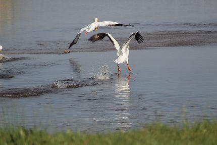 Le départ, oiseaux à Saskatchewan