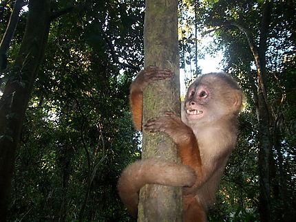 Singe d'Amazonie