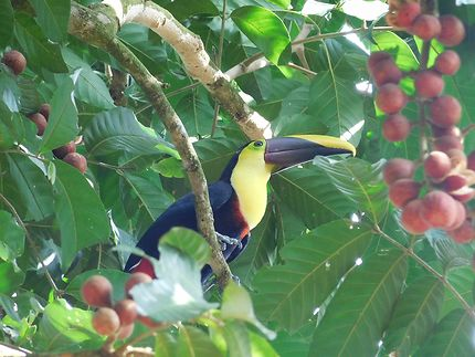 Toucan au Costa Rica, parc du volcan Arenal