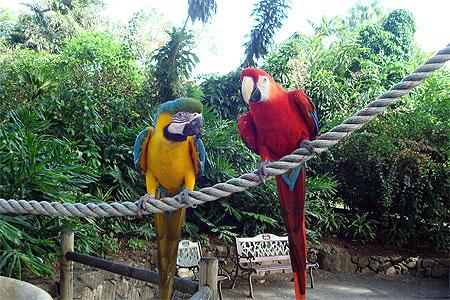 Perroquets du jardin botanique oiseaux jardin - Jardin botanique guadeloupe basse terre ...