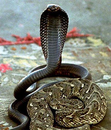 Charmeurs de serpents sur la place Jemaa el Fna