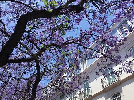 Jacarandas en fleurs à Lisbonne
