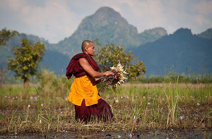 Cueillette de lotus