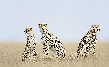 Trois frères : guépards