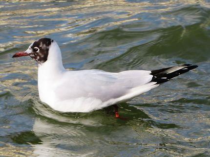 Mouette à tête noire au quai de la Garonne