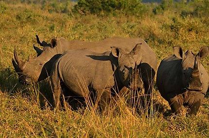 Famille de rhinocéros