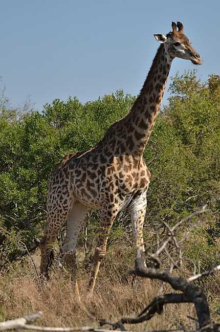 Dame la girafe