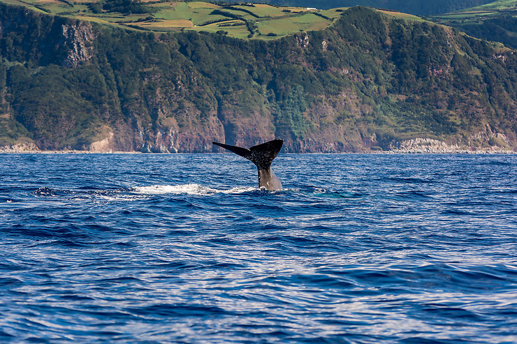 Rencontrer les baleines aux Açores