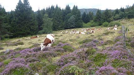 Vaches dans la bruyère