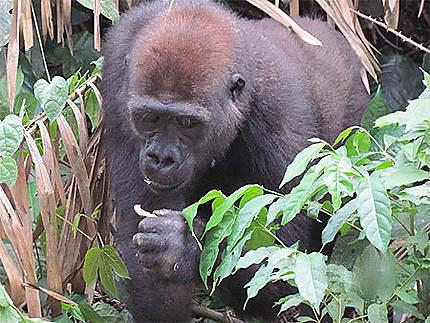 Gorille aux alentours de Yaoundé