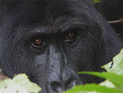 Gros plan sur un gorille