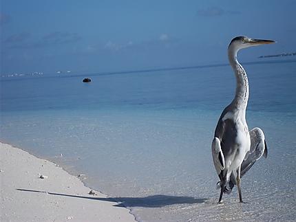 Quiétude Maldivienne