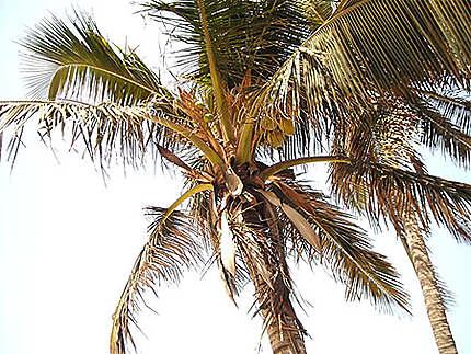 Cocotier sur la plage