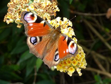 Papillon à l'île de Tatihou Cotentin