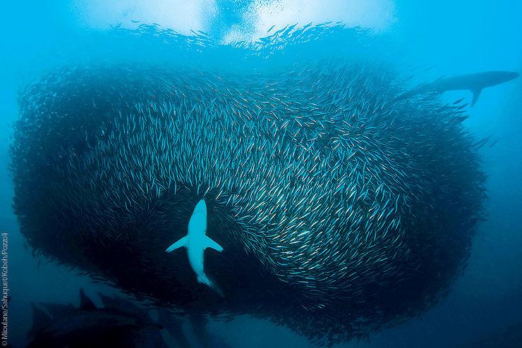 Requin cuivre chassant dans un banc de sardine, Afrique du Sud