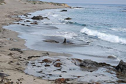 Baignade d'éléphants de mer