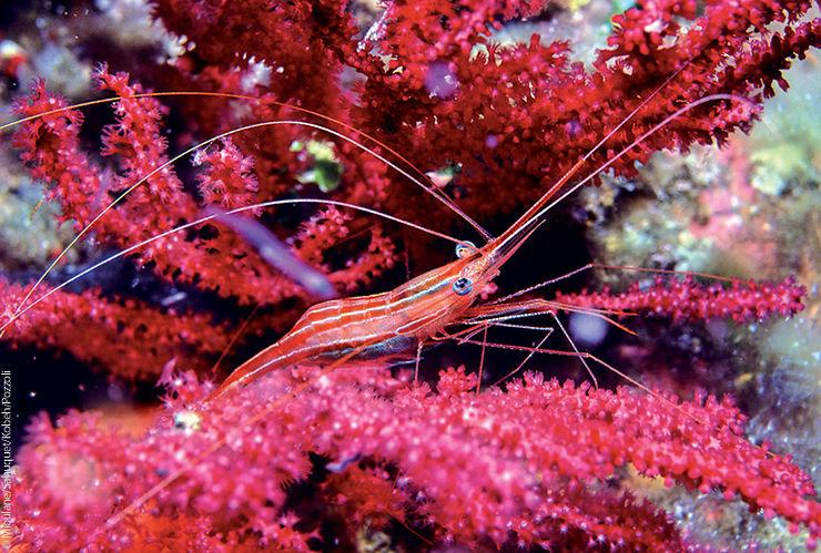 Crevette cavernicole rayée, Port-Cros, France