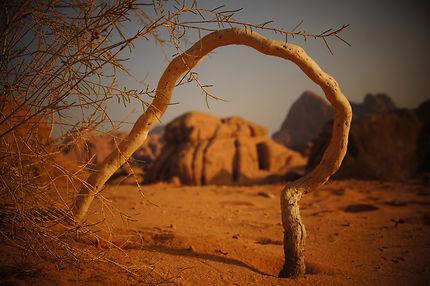Racine à Wadi Rum, Jordanie