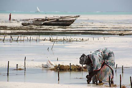 Ramasseuses d'algues à Jambiani