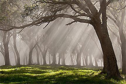 Forêt de tamarins dans la brume