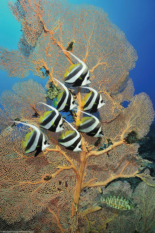Poissons cochers, Océan Indien