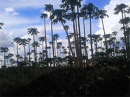 Forêt de papaye
