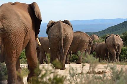 Une grande famille d'éléphants