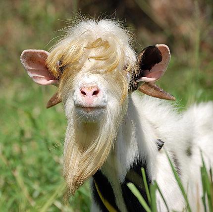 La traite des chèvres  Photo Aveyron