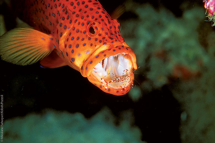 Crevette nettoyeuse de Bruun dans la gueule d'un mérou, Ari Atoll, Maldives