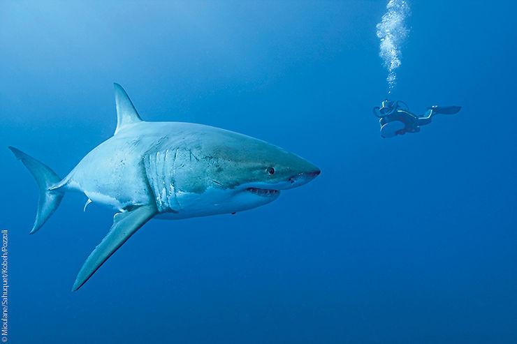 Requin blanc, Île de Guadalupe, Mexique