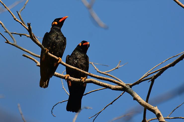 Mainates religieux, Parc national de Ream
