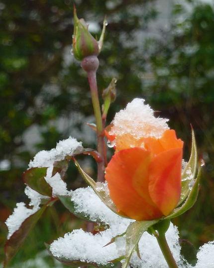 Dernière rose et première neige