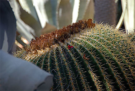 Cactus du jardin de Majorelle