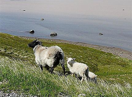 Brebis et ses petits dans le fjord de kaldalon