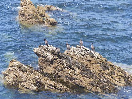 Compagnie de cormorans