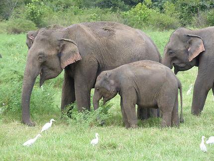 Eléphants en famille