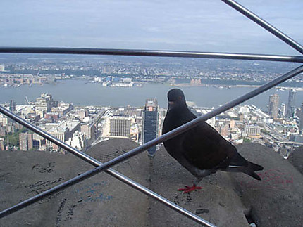 Un pigeon en visite