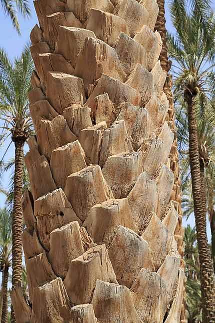 Tolga - Détail d'un tronc de palmier