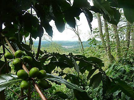 Bajawa, région du café