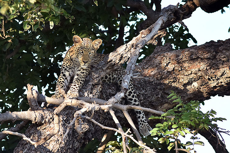 Léopard, parc national de Chobe, Botswana