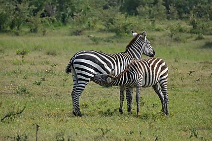 Zèbres dans le parc de Massai Mara