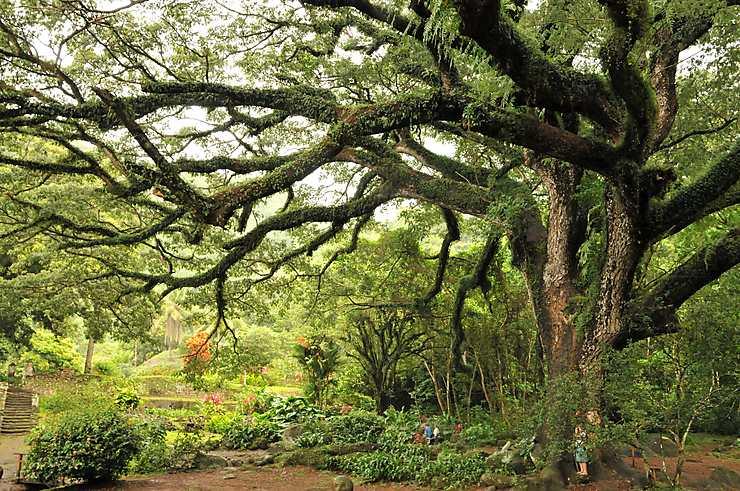 Zamana, un des plus gros arbres des Antilles, Martinique