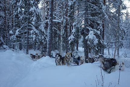 Sortie en chiens de traîneau en Laponie suèdoise