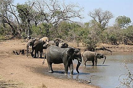 Eléphants du Swaziland
