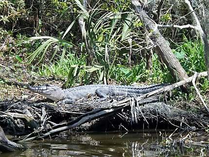 Alligator dans Le bayou