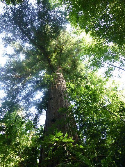 Énorme séquoia des Cévennes